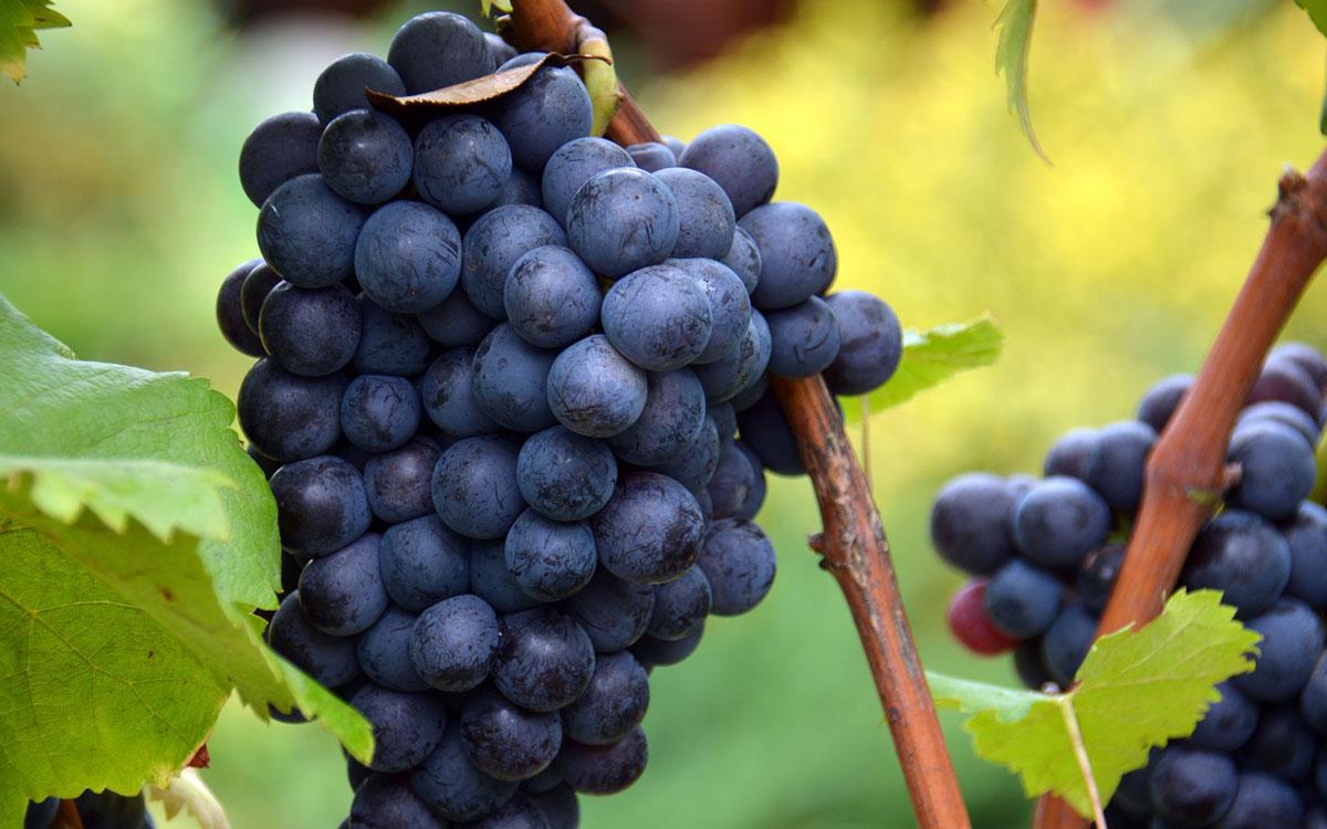 Co trzeba wiedzieć przed zakupem winorośli na prezent? 1