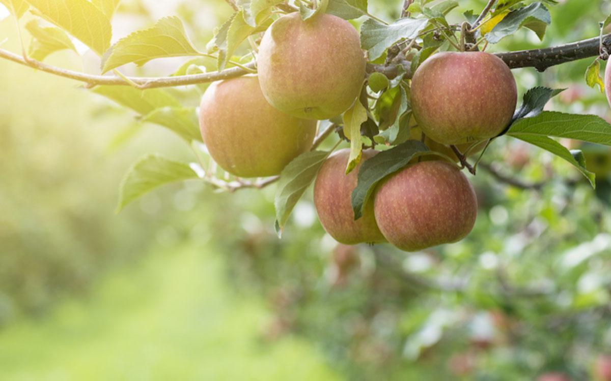 Jabłoń Duo - dwa na jednym 1
