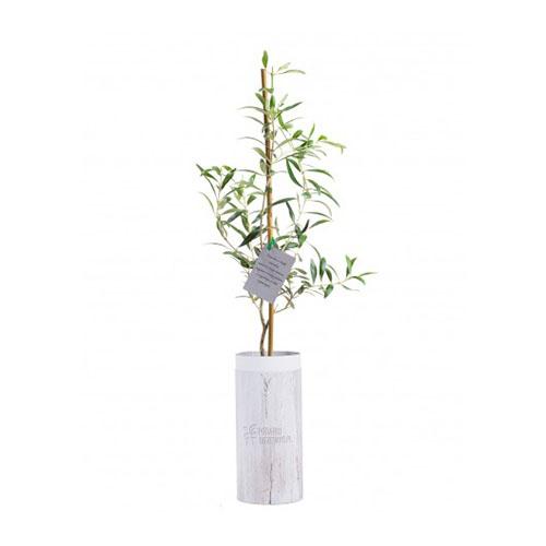 Zestaw upominkowy Drzewo oliwne 2