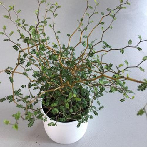 Zestaw upominkowy Sophora 4