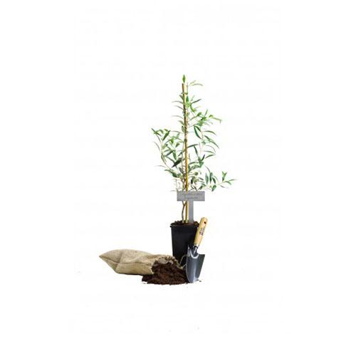 Zestaw upominkowy premium Drzewo oliwne 4